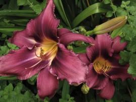 liliesjuly